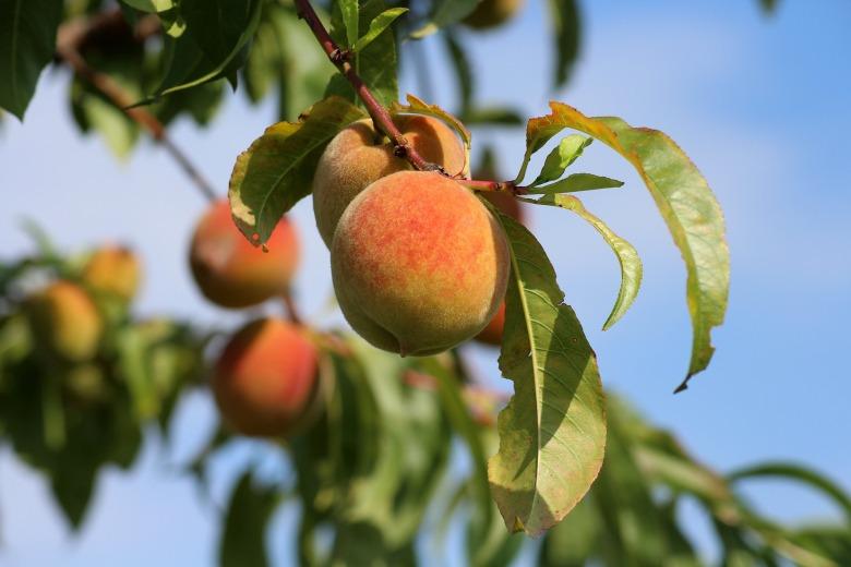 peaches-3529802_1920